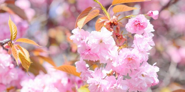 桜は見て良し、食べても良し!桜の塩漬けの効能と簡単レシピ《栄養士解説》