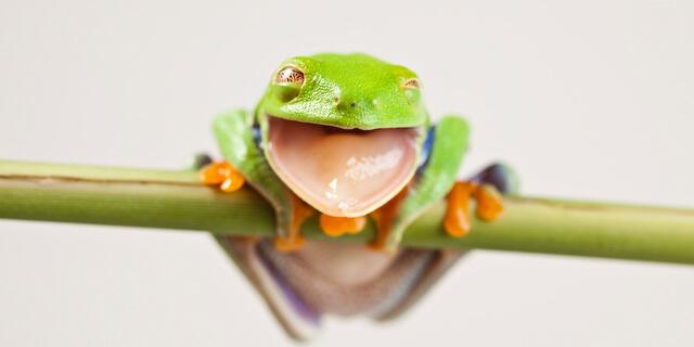 カエルの粘液でインフルエンザ撃退?新発見された「ウルミン」とは