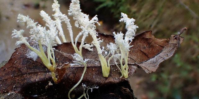 """虫に寄生するキノコ""""冬虫夏草"""" 知られざる成分や効能などをご紹介"""