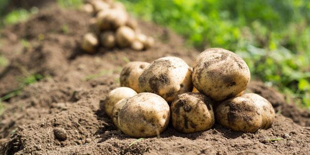 学校で起こりやすいじゃがいもの食中毒 知るべき正しい栽培方法と見分け方